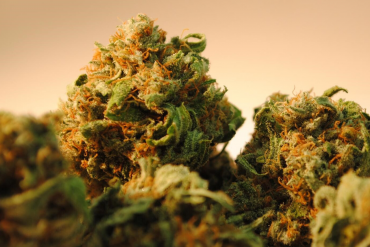 How to choose the perfect Cannabis Strain